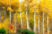 Fall Aspen Trees along Highway 2 von Danita Delimont