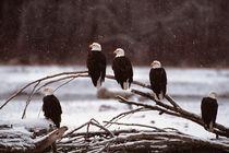 Bald Eagles von Danita Delimont