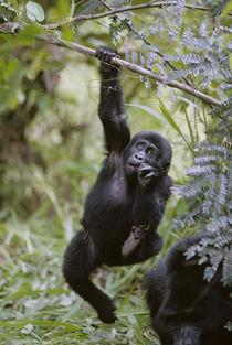 Juvenile Mountain Gorilla (Gorilla gorilla beringei) hanging from tree branch von Danita Delimont
