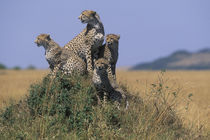 Adult Female Cheetah (Acinonyx jubatas) sits with cub looking out on savanna von Danita Delimont