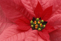 Red Poinsettia detail von Danita Delimont
