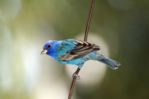 Indigo Bunting perched on bare branch von Danita Delimont