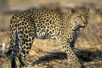 Adult Female Leopard (Panthera pardus) walking through dry mopane forest near Khwai River by Danita Delimont