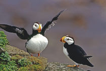 Horned puffins interacting by Danita Delimont