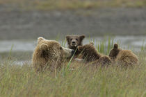 Mom grizzly bear feeds her three cubs by Danita Delimont