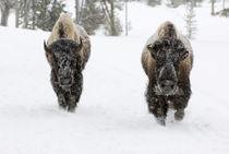 American Bison (Bison bison) by Danita Delimont