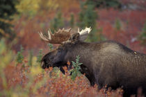 Denali National Park Bull moose in fall colors von Danita Delimont