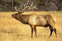 Bull elk bugling by Danita Delimont