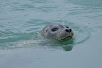 Harbor Seal swimming in Jokulsarlon glacial lake in southern Iceland von Danita Delimont