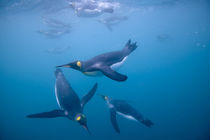 Underwater view of King Penguins (Aptenodytes patagonicus) swimming in Right Whale Bay von Danita Delimont
