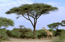 Southern Giraffe (Giraffa camelopardus) and acacia tree von Danita Delimont