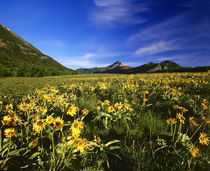 Arrowleaf balsomroot covers the praire with Galwey Mountain in background at Waterton Lakes National Park in Alberta Canada von Danita Delimont