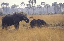 African Elephant von Danita Delimont