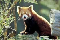 Red Panda (Ailurus fulgens) by Danita Delimont