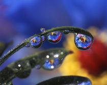 Close-up of ladybird beetle on blue poppy reflecting in dewdrops von Danita Delimont