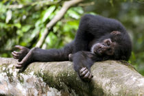 Young Chimpanzee (Pan troglodytes) resting on log in rainforest clearing von Danita Delimont