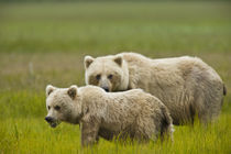 Mom and yearling cub graze in a meadow by Danita Delimont