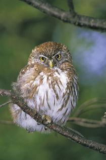 Juvenile Autral Pygmy Owl (Glaucidium nanum) von Danita Delimont
