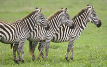 Zebras at Ngorongoro Crater in the Ngorongoro Conservation Area by Danita Delimont