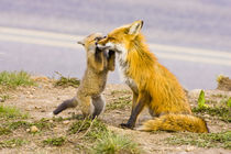 Red fox mother with playful kit by Danita Delimont