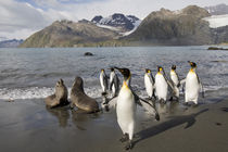 Antarctic Fur Seals (Arctocephalus gazella) and King Penguins (Aptenodytes patagonicus) in surf along Gold Harbour on late summer morning von Danita Delimont