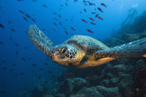 These turtles are commonly seen around the islands von Danita Delimont