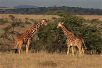 Two reticulated giraffes (Giraffa camelopardalis) by Danita Delimont