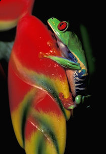 Red Eyed Tree Frog von Danita Delimont