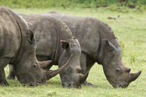 Three white rhinoceroses grazing by Danita Delimont