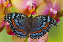 Sammamish Washington Tropical Butterfly photograph of Junonia octavia the Gaudy Commodore from Africa von Danita Delimont