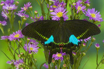 Washington Tropical Butterfly Photograph of Swallowtail Papilio paris the Peacock Swallowtail butterfly by Danita Delimont