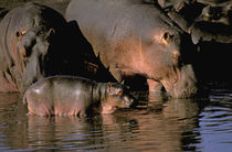 Common hippopotamuses (Hippopotamuses amphibius) by Danita Delimont