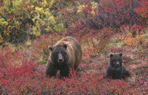 Grizzly bear (Ursus arctos) and cub in the fall by Danita Delimont