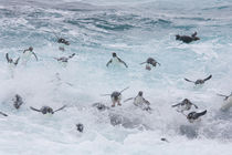 A flock of Rockhopper penguins launch out of the surf together as they arrive at their colony on New Island in the Falkland Islands by Danita Delimont