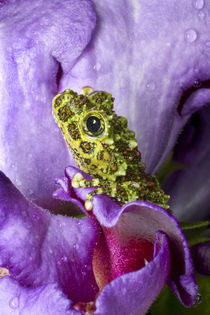 Close-up of mossy tree frog on flower von Danita Delimont