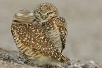 One of pair of burrowing owls turns head outside their burrow nest by Danita Delimont