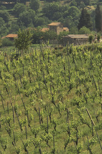Grape vineyard; Tuscan villa; Greve in Chianti von Danita Delimont