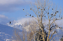 Treeful of bald eagles near Hamilton Montana by Danita Delimont