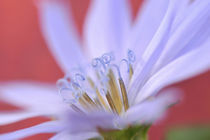 Close-up of wild chicory flower by Danita Delimont