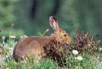 Snowshoe hare (Varying americanus) von Danita Delimont