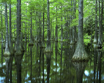 Bald Cypress by Danita Delimont
