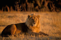 Lion (Panthera leo) by Danita Delimont