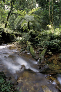 Rainforest tree fern and stream von Danita Delimont