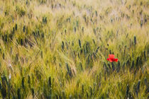 Lone poppy in Spring Wheat Field by Danita Delimont