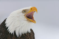 Bald eagle screaming by Danita Delimont