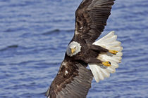 Bald eagle diving above water by Danita Delimont