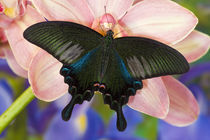 Washington Tropical Butterfly Photograph of male Papilio Bianor Swallowtail from Tiawan von Danita Delimont