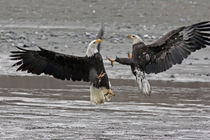 Two bald eagles fighting von Danita Delimont