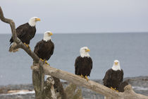 Bald eagles perched on a piece of driftwood von Danita Delimont
