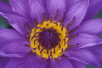 Purple and yellow lotus flower von Danita Delimont